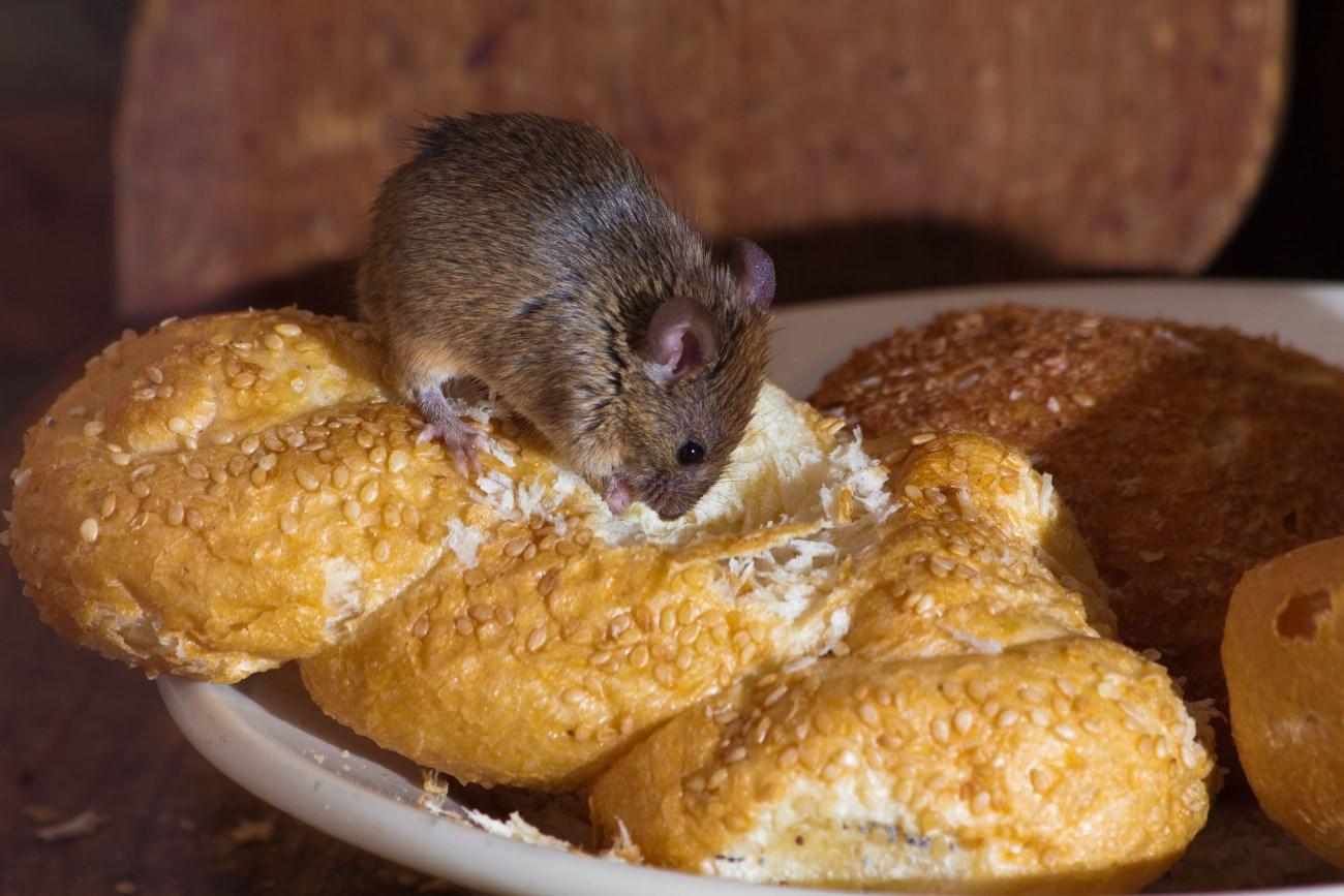 Исследователи «стёрли» у мышей тягу к сладкому