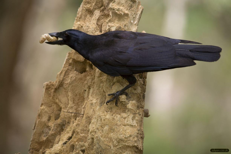 инженерные навыки новокаледонских ворон зафиксированы в природе