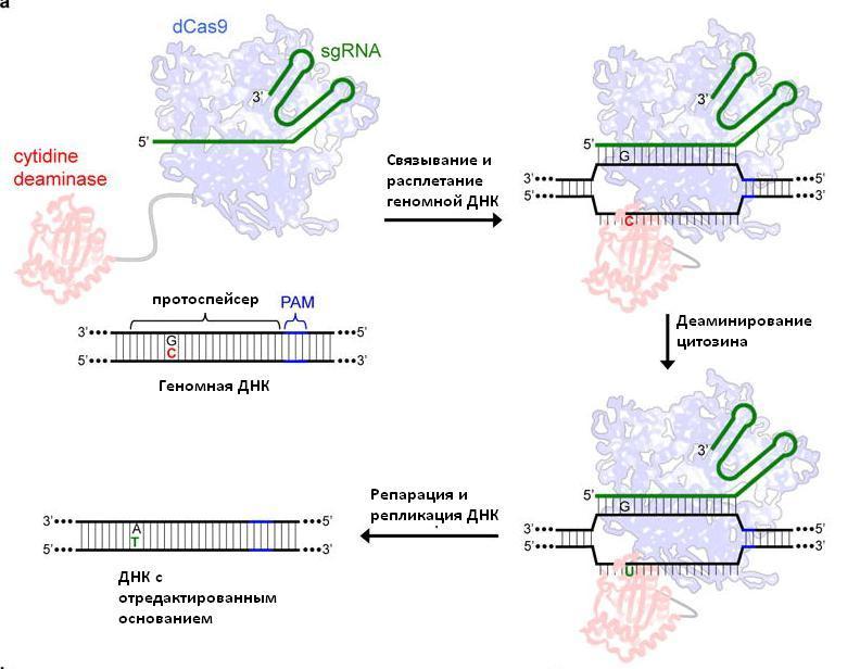 «Редактор оснований» на основе CRISPR/Cas9 предотвратил анемию у человеческих эмбрионов