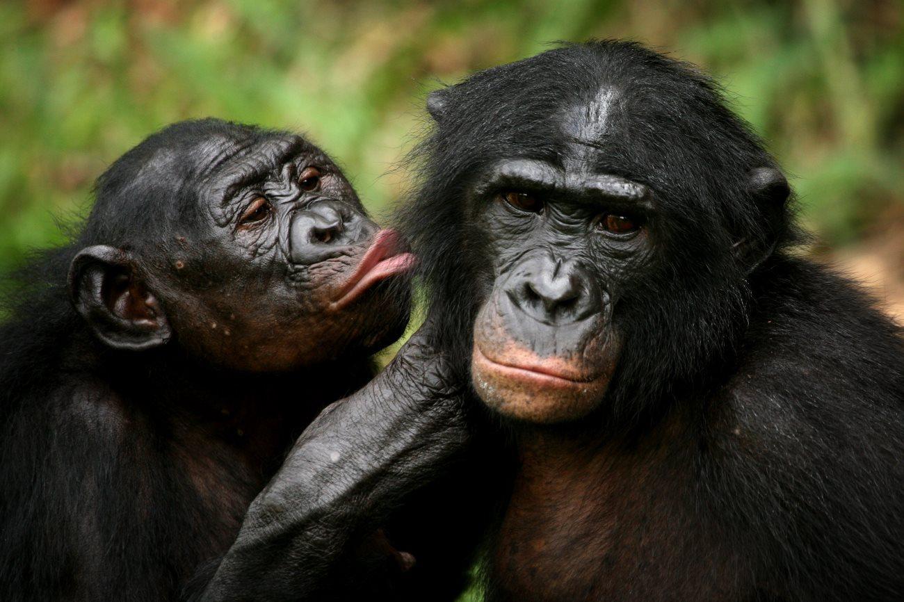 общение у бонобо сравнили с воплями младенцев