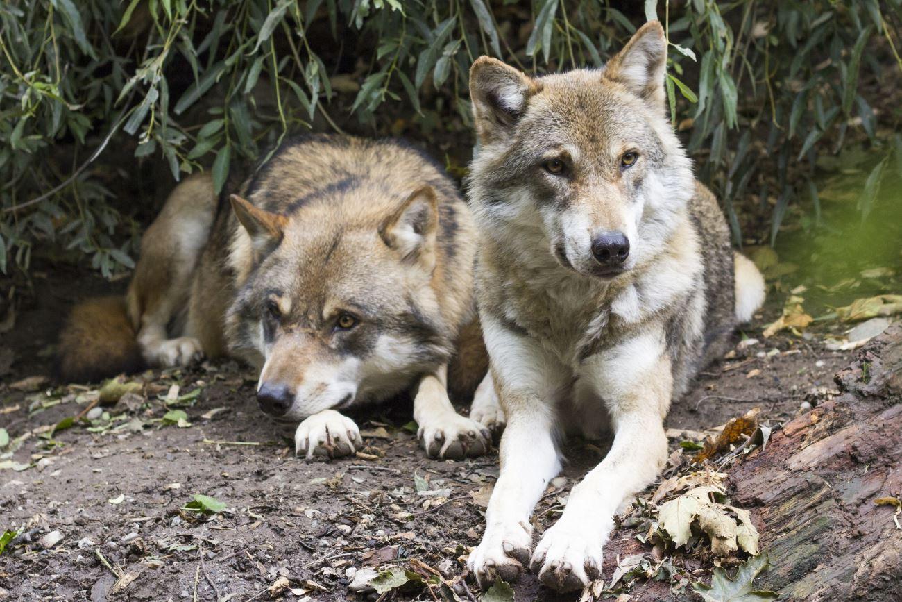 волки обошли собак в решении групповых задач