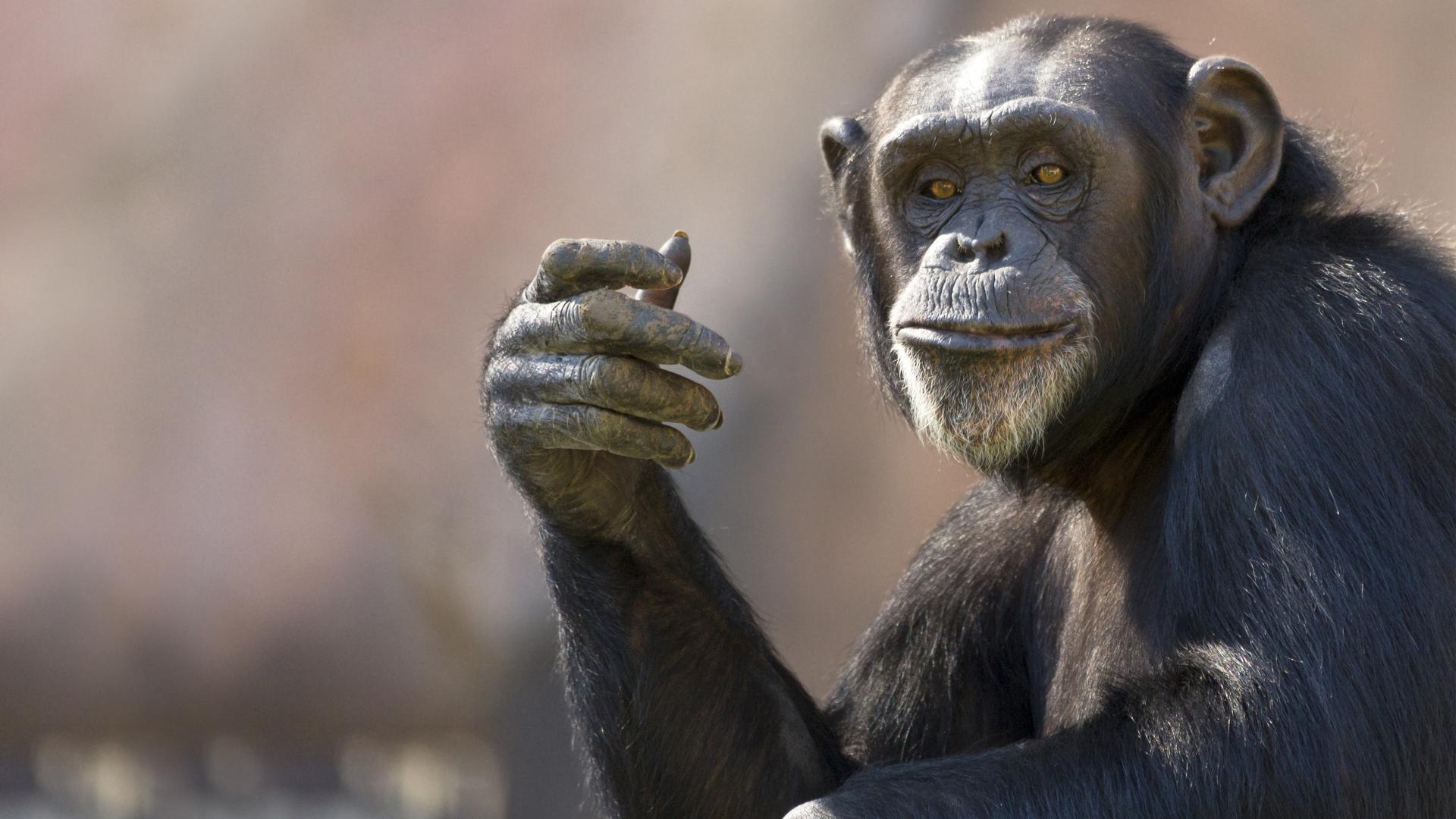 Язык жестов шимпанзе перевели на человеческий