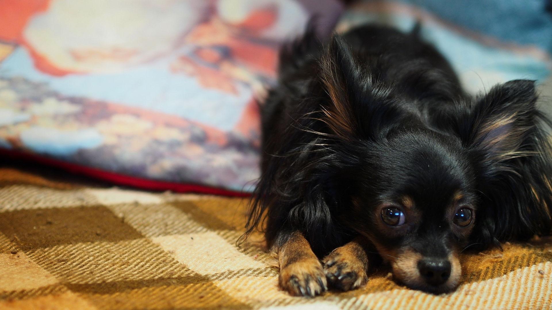Собаки в доме спасают детей от астмы