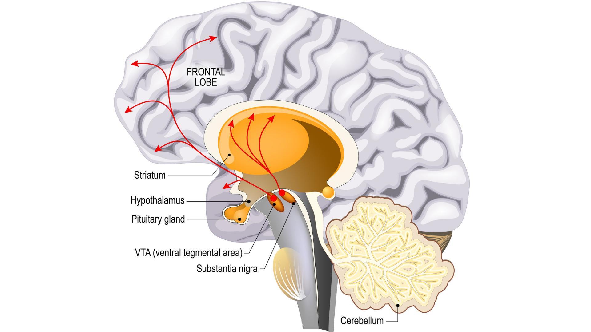 Нейробиологи обнаружили отвечающие за отвращение к сыру участки мозга