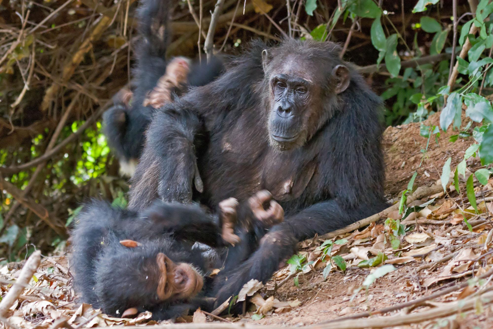 Самцы шимпанзе оказались заботливыми отцами