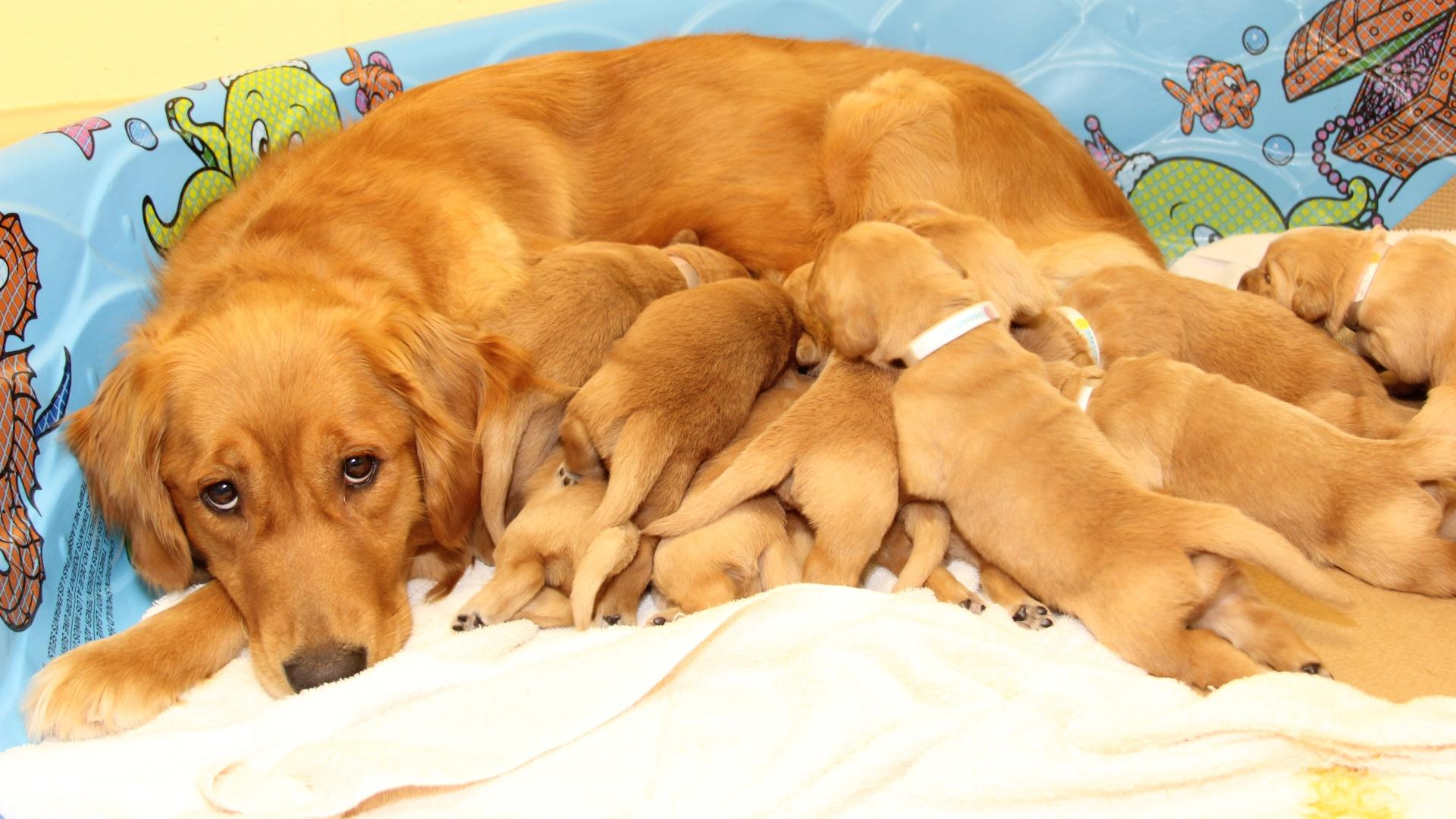 Матери собак-поводырей повлияли на их карьеру