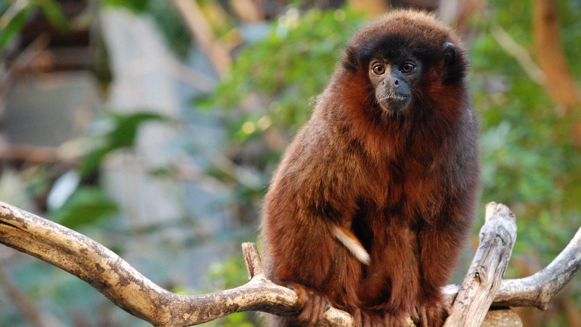 Как ревнуют обезьяны