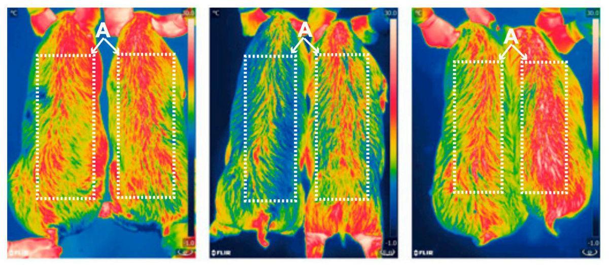 китайские учёные создали худых и морозоустойчивых ГМ-поросят