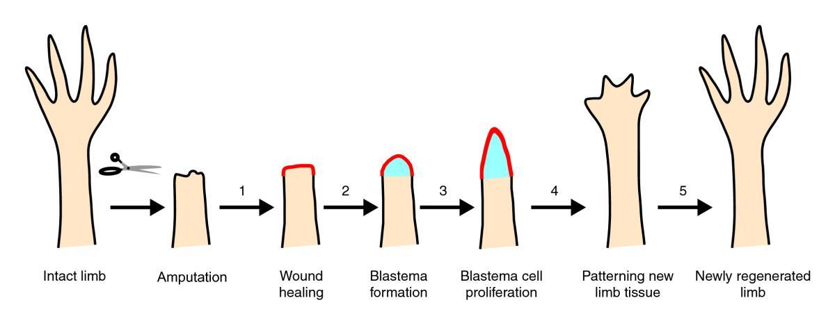 биологи изучили регенерацию конечностей у человека
