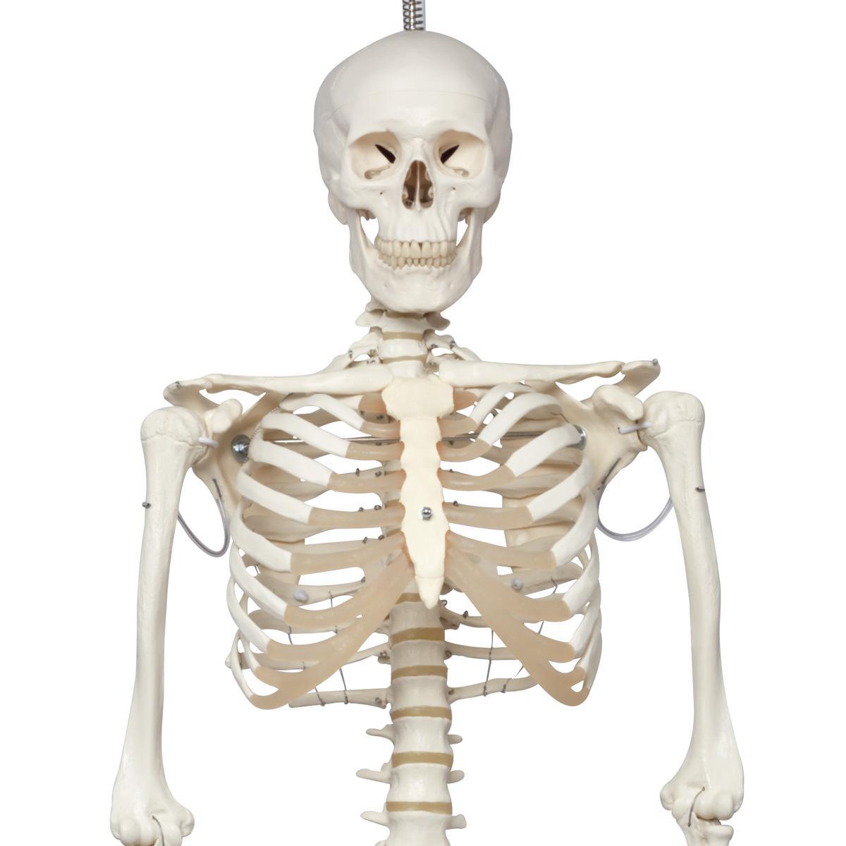 гормоны из костей влияют на аппетит и метаболизм