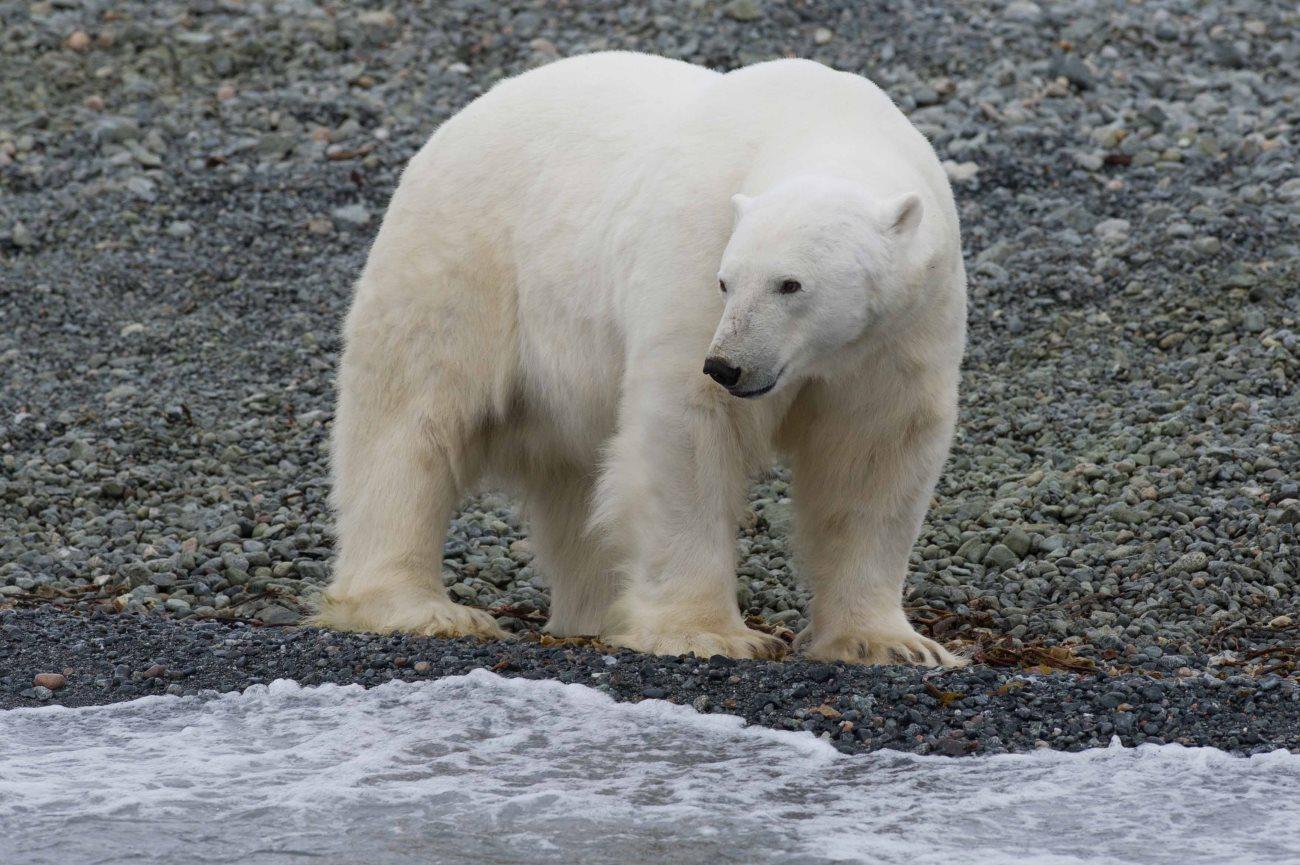 белые медведи привыкают жить на суше