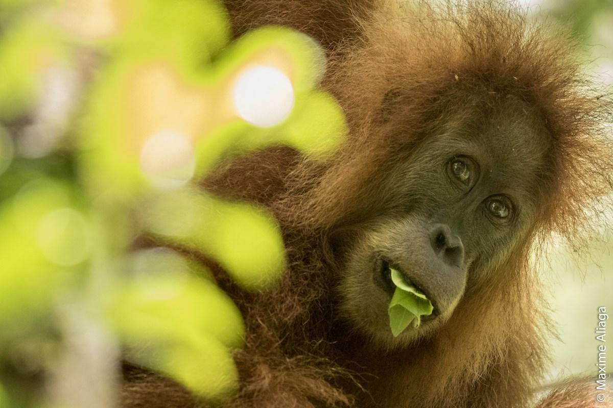на Суматре нашли новых орангутанов