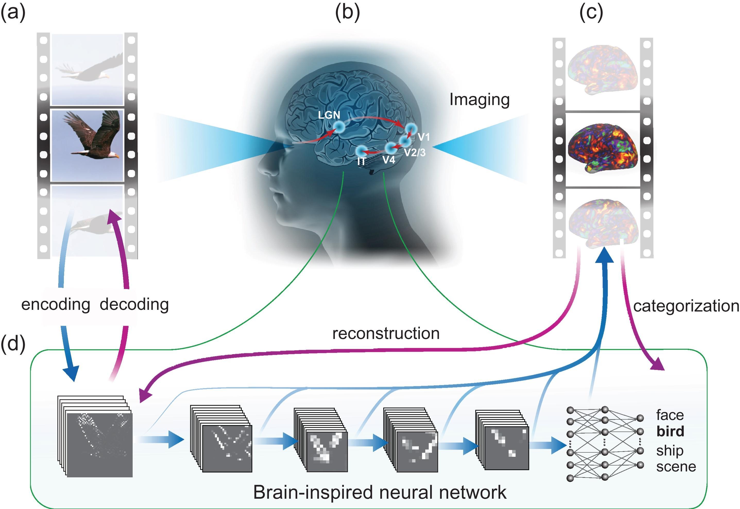 Нейронная сеть научилась считывать визуальные образы из мозга