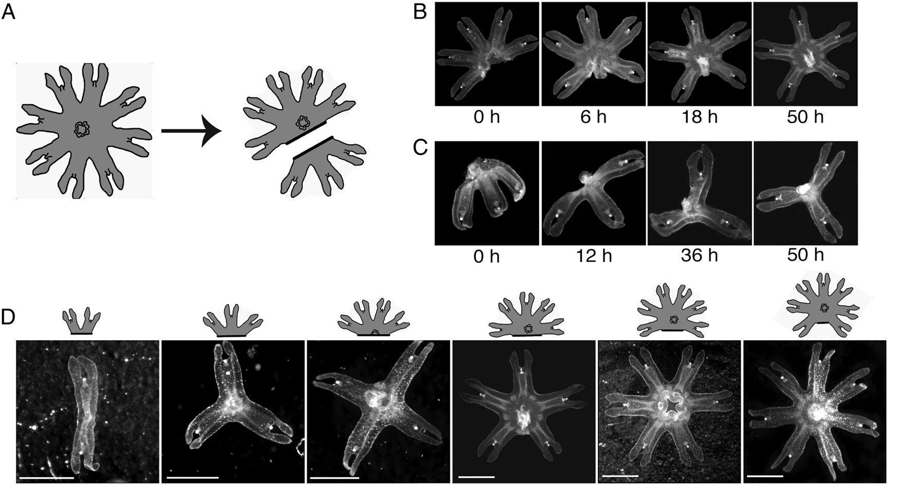 Медузы без конечностей восстанавливаются, возвращая себе симметрию тела