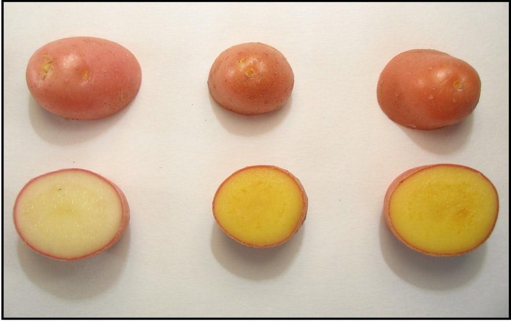 Генетики «озолотили» картошку