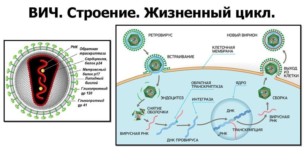 Ретровирусы: «пятая колонна» ДНК