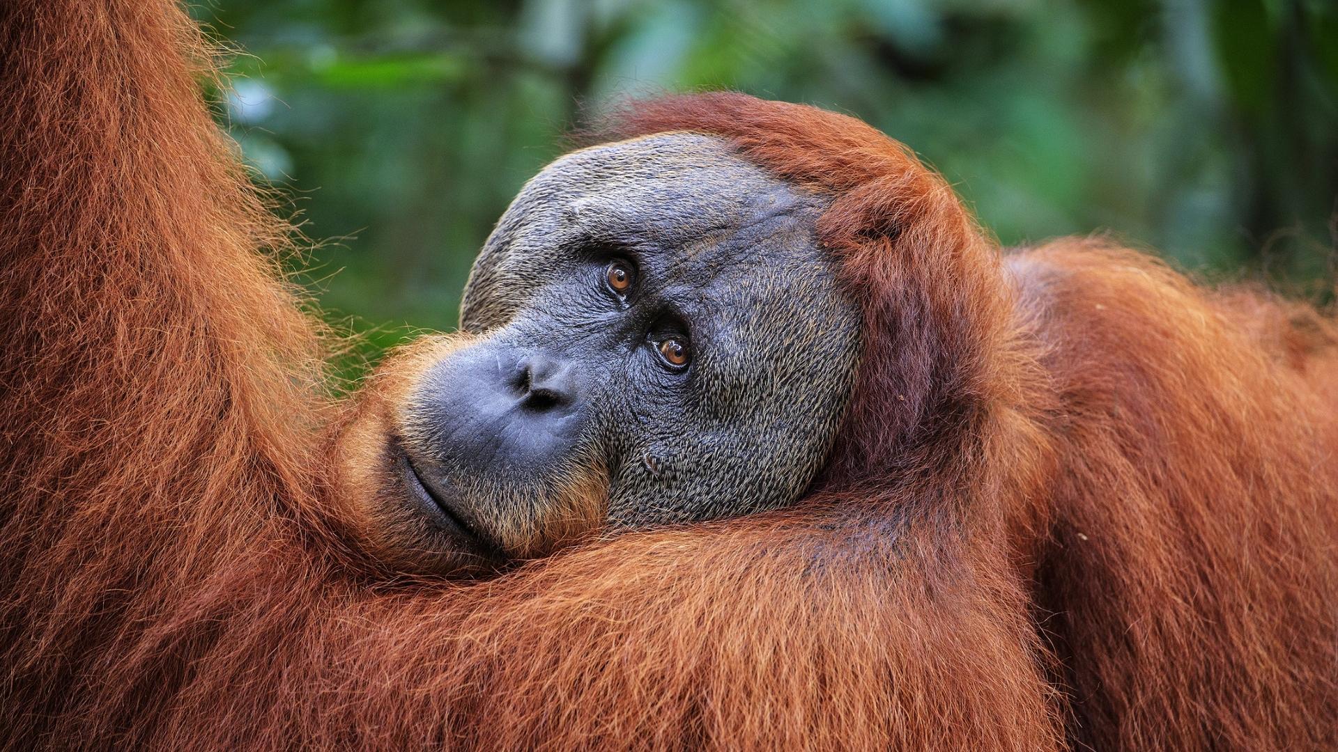 На Суматре нашли новый вид орангутанов