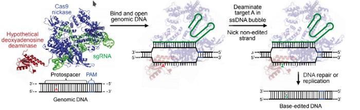 Генетики научились чинить все точечные мутации в ДНК