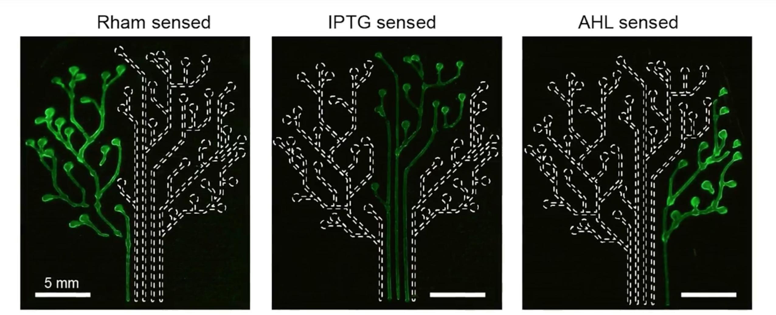 Бактериальные «чернила» для 3D-принтера
