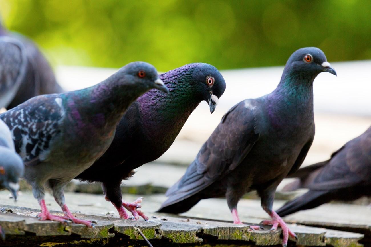 голуби накапливают общие знания