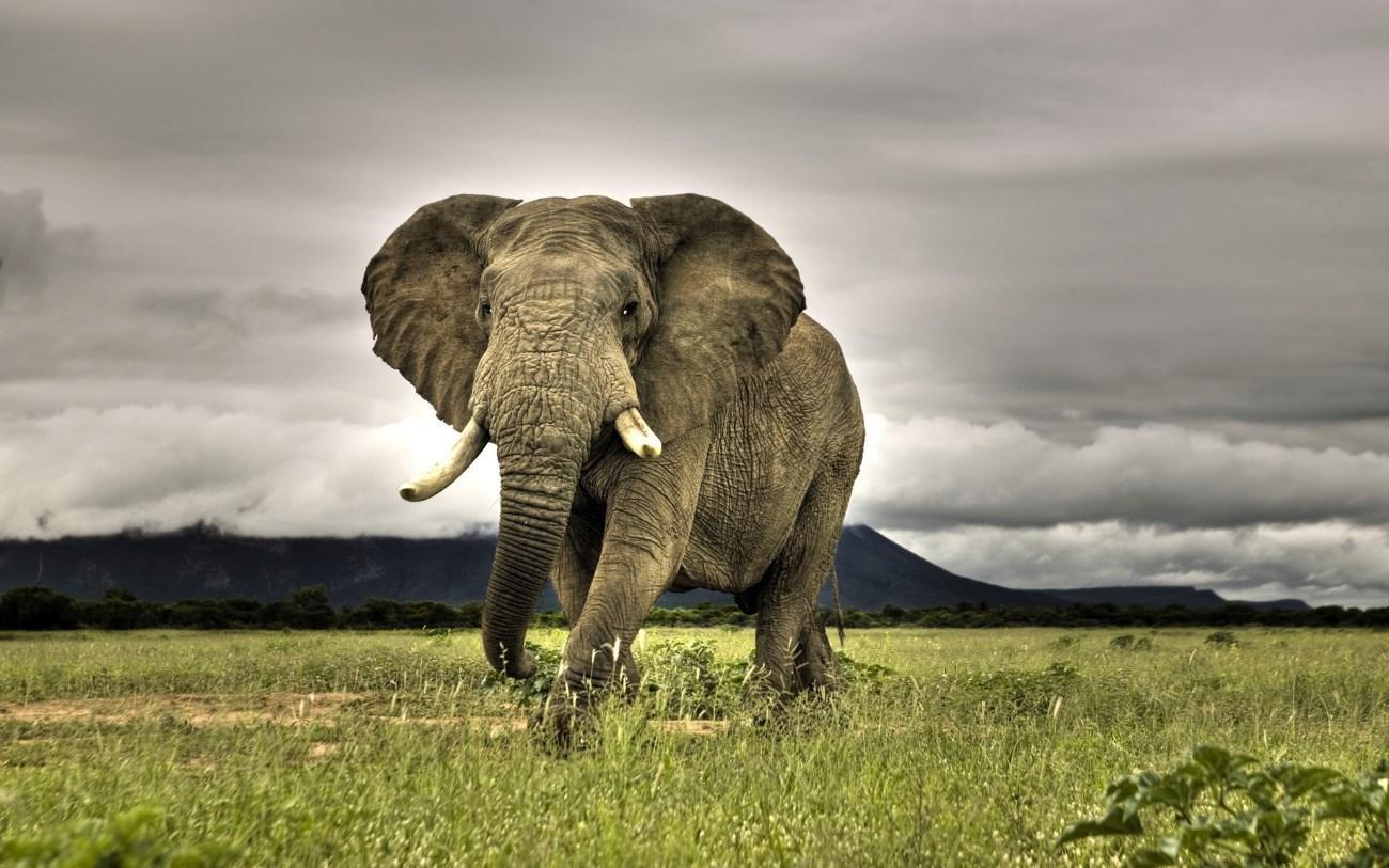 Почему слоны не болеют раком