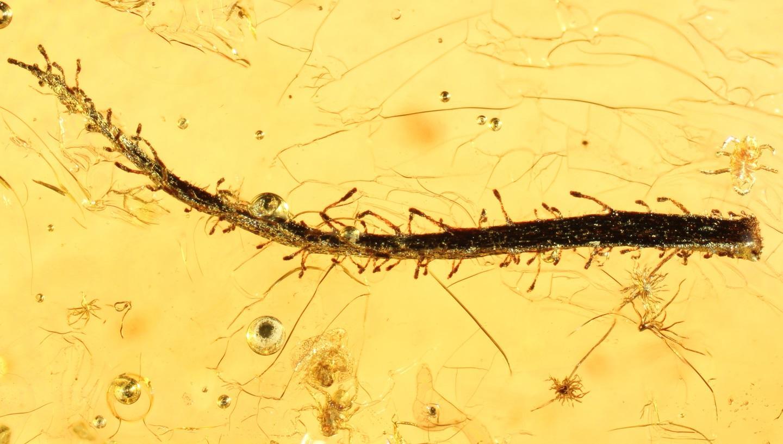 Листья самых древних плотоядных растений найдены в янтаре