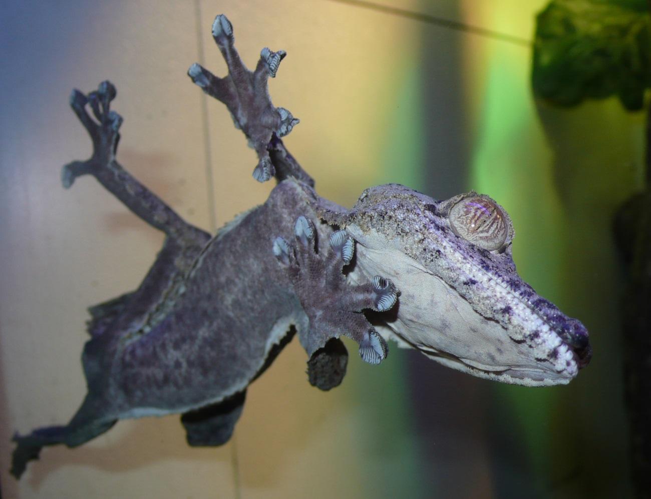 Выдающиеся способности гекконов объяснили другими силами