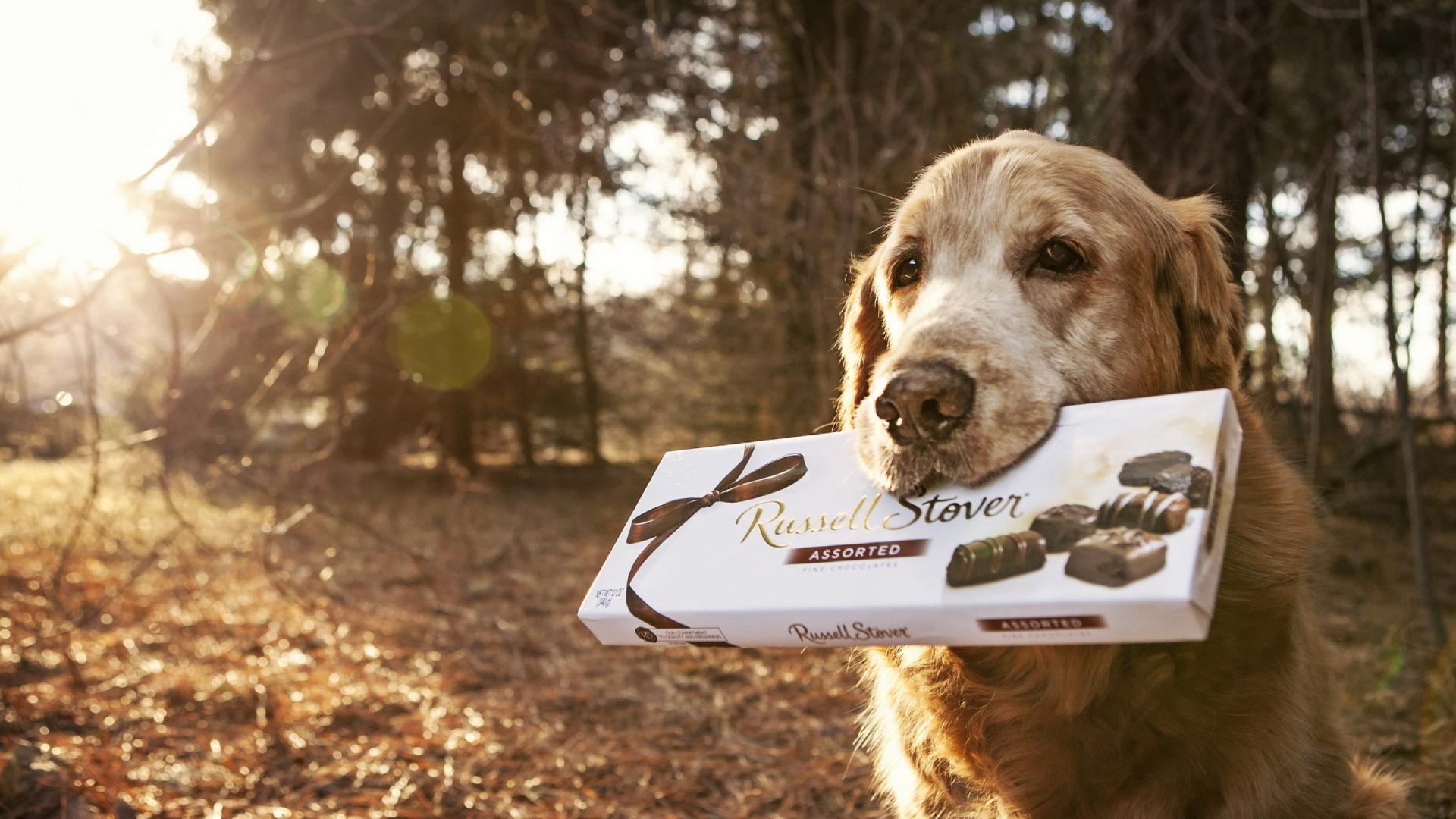 Не поддавайтесь жалобным мордам: шоколад невероятно опасен для собак