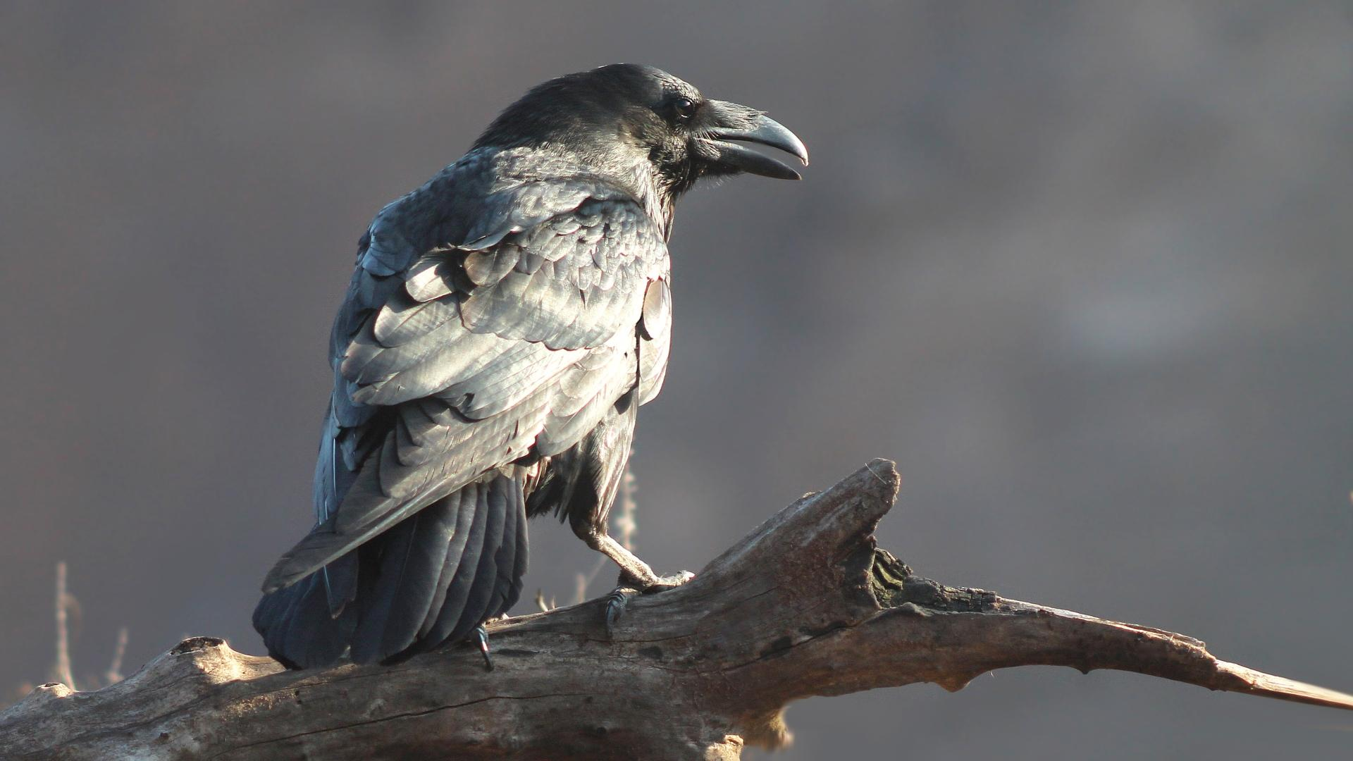 Corvus Sapiens?