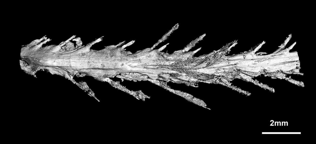 Сканирование древнего хвоста показало, что он был достаточно гибким