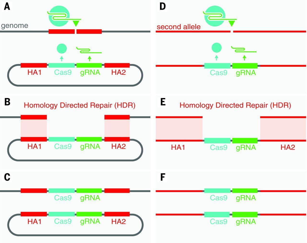 Редактирование генома превратили в цепную реакцию