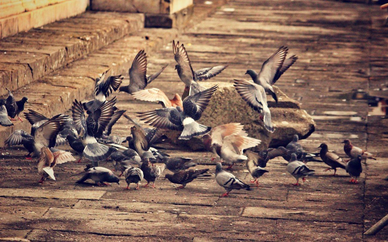голуби отправляют в отставку неумелых лидеров