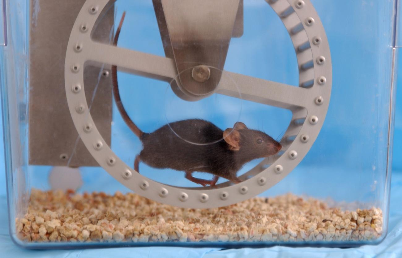 Беременные мыши передали потомству любовь к бегу