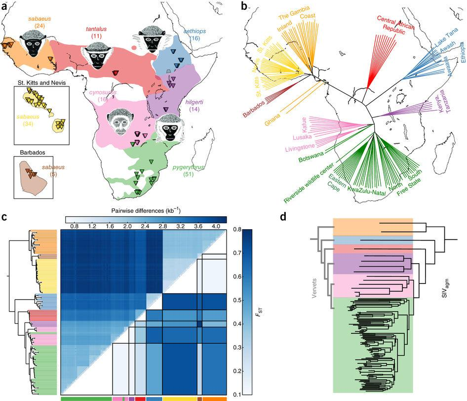 За миллион лет мартышки подружились с вирусом иммунодефицита