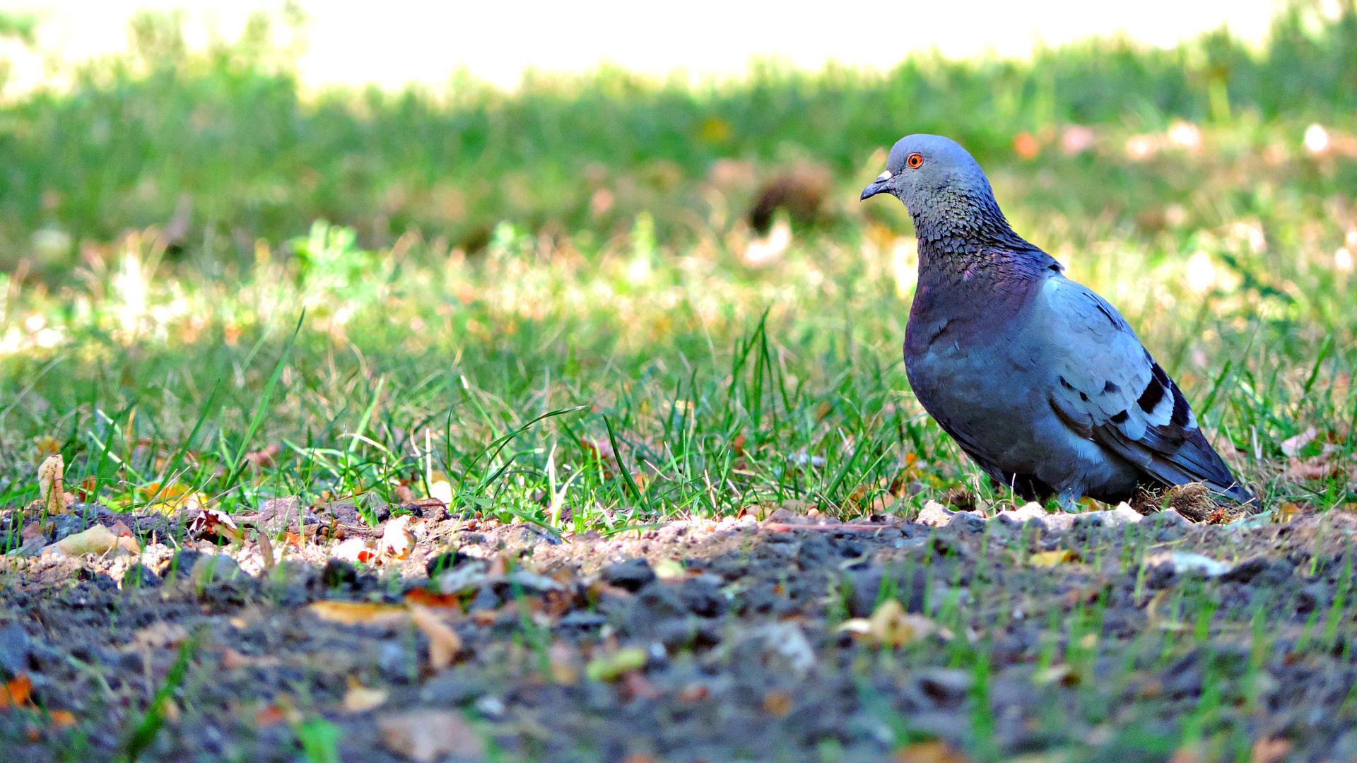 Язык и голуби
