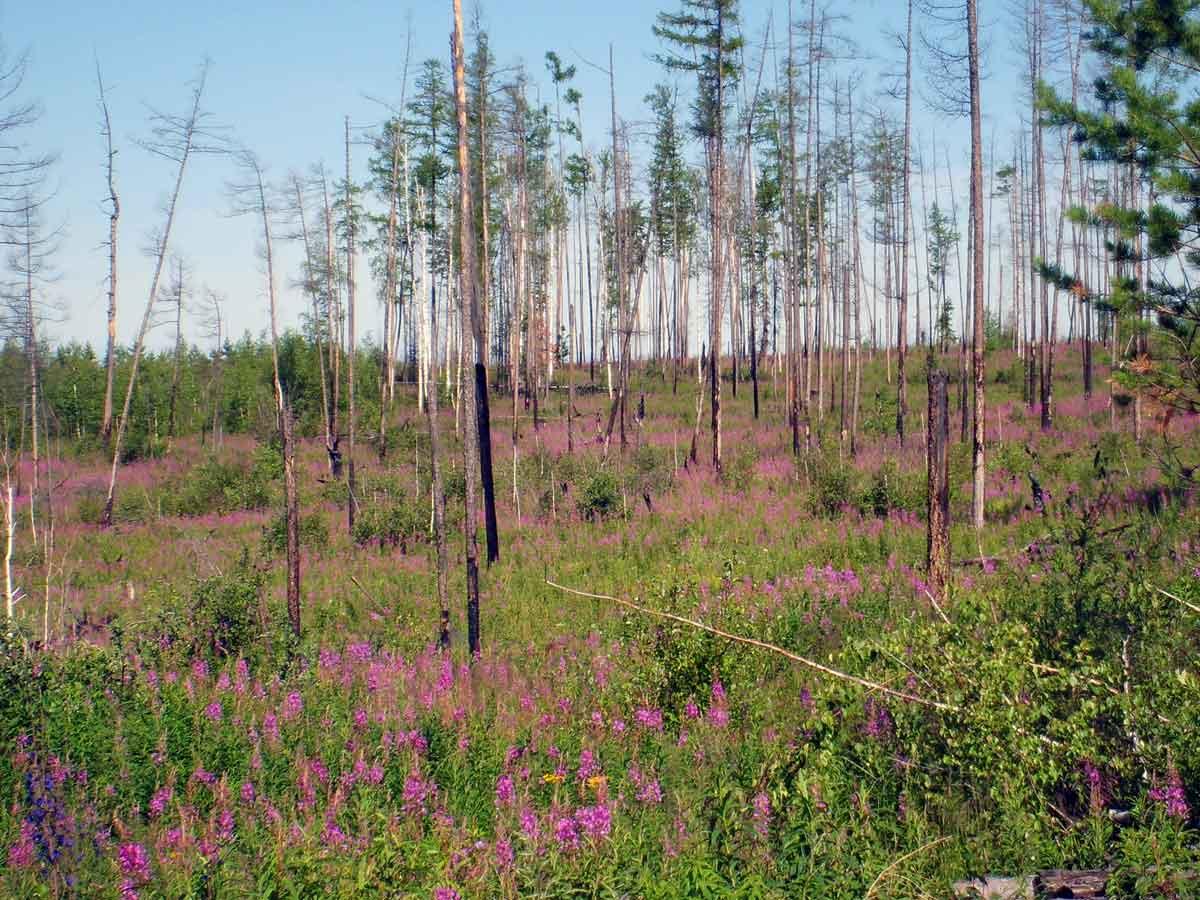 Глобальное потепление помешало лесам восстановиться после пожаров