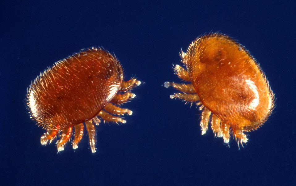 в янтаре нашли муравья и паразитирующего на нем клеща