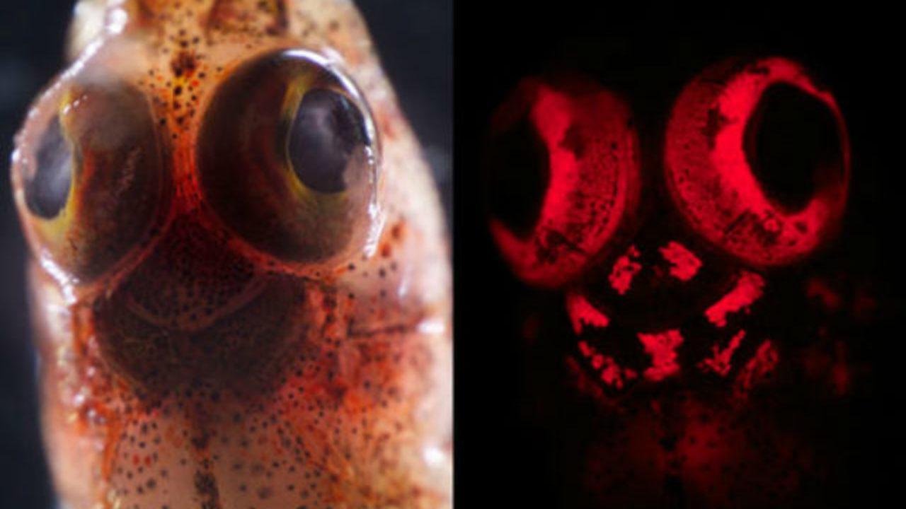Учёные раскрыли многообразие биофлуоресценции морских рыб