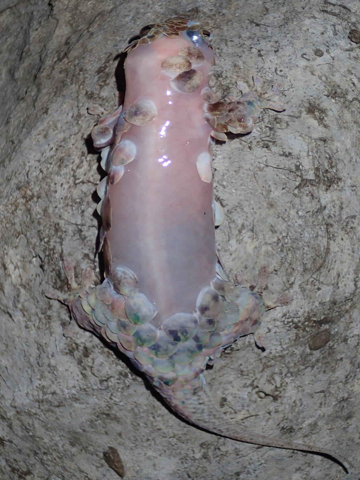 """необычный геккон сбрасывает """"доспехи"""", чтобы сбежать от хищника"""