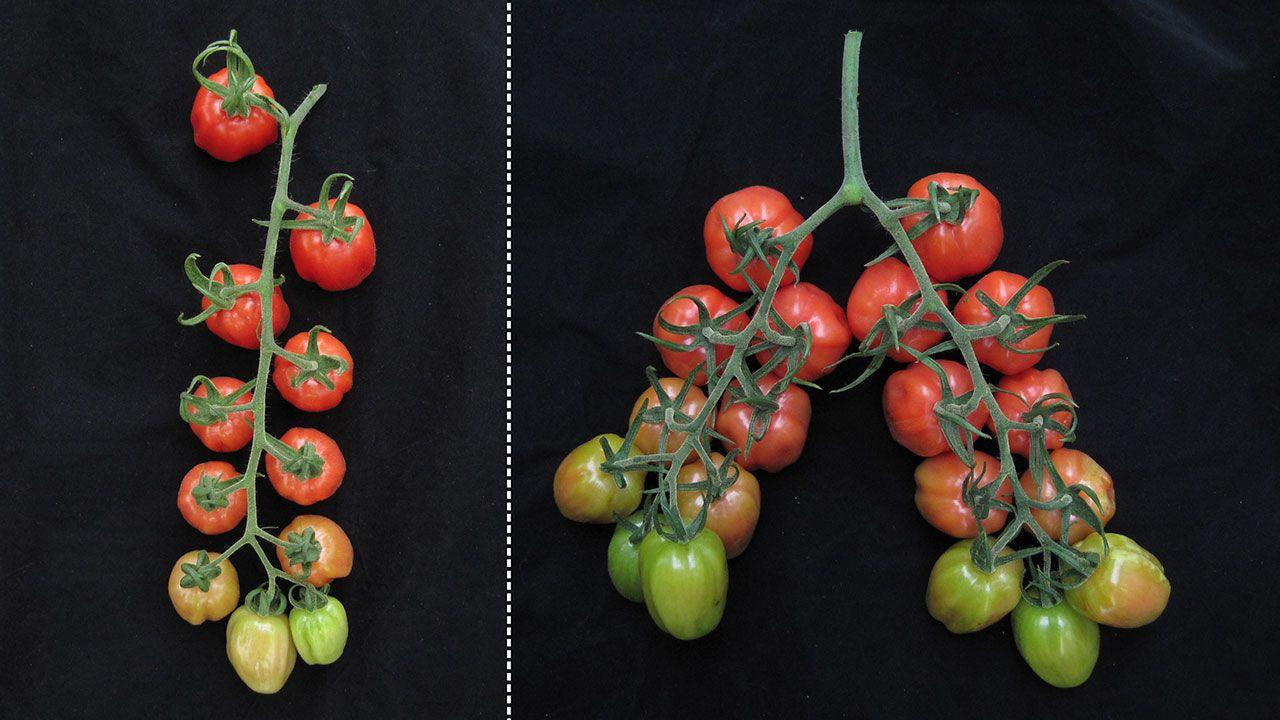 Редактирование генов заставило работать скрытый потенциал томатов