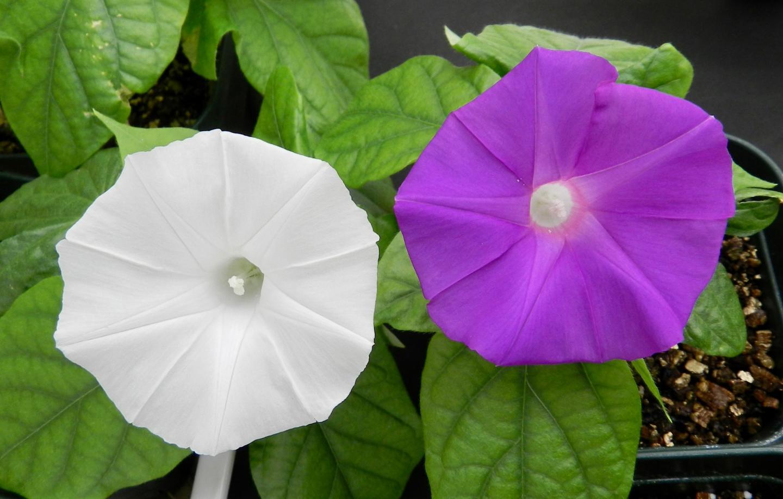 Технология CRISPR впервые изменила окраску цветков растений