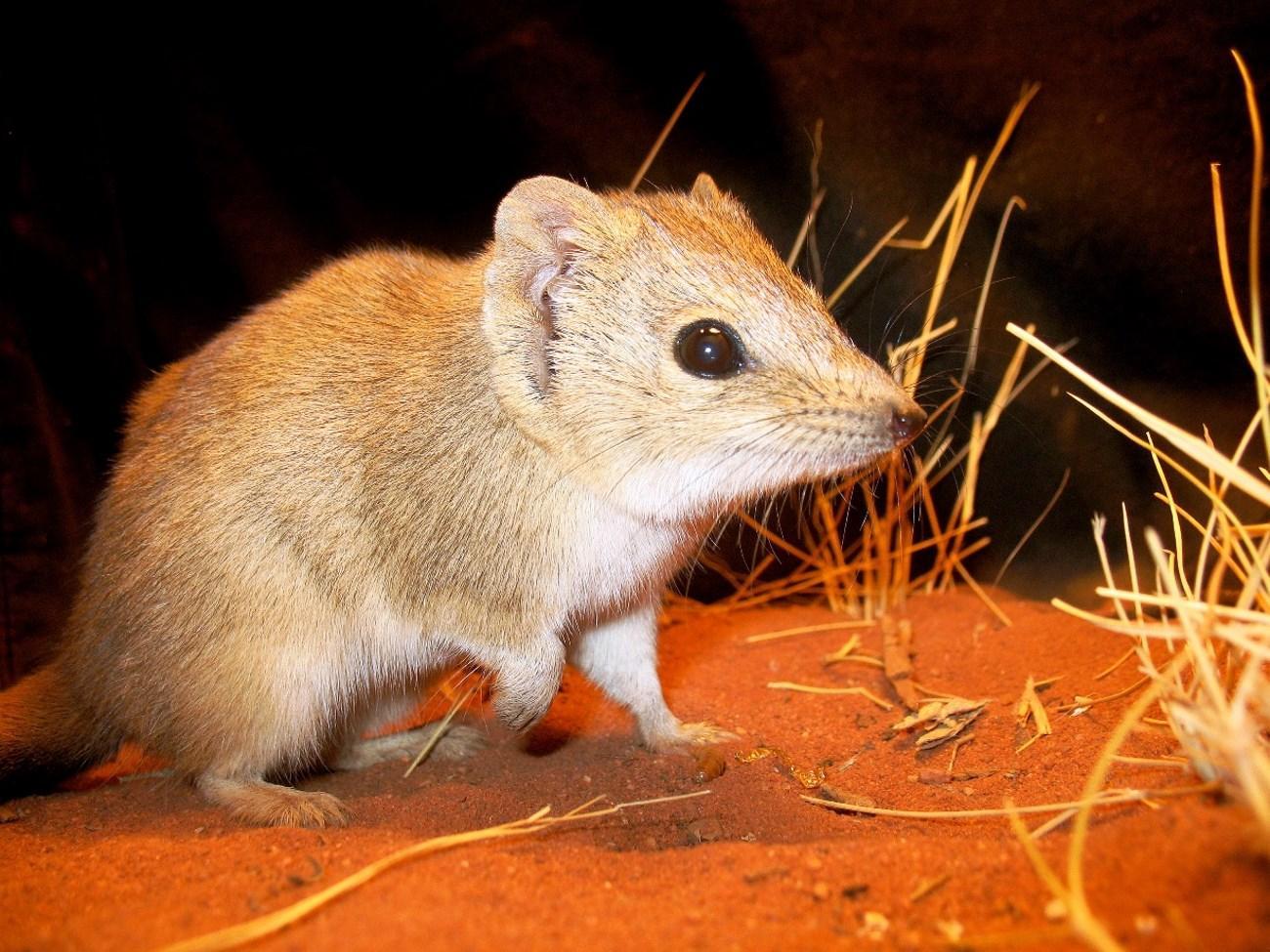 В Австралии обнаружена гребнехвостая сумчатая мышь, «вымершая» сто лет назад