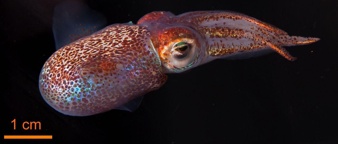 светящаяся бактерия заполучила в управление кальмара