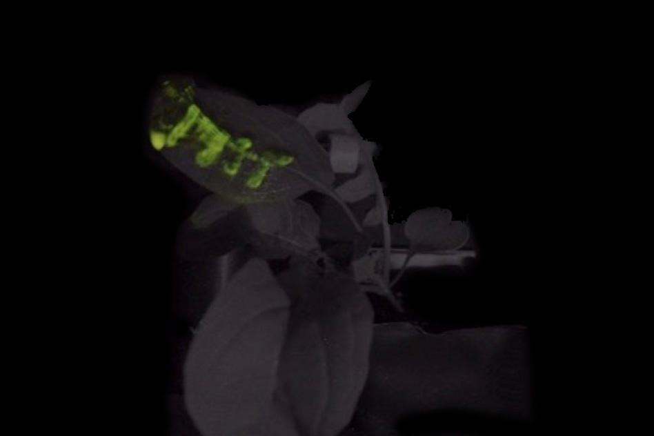 Светлячки помогли создать биолюминесцентные растения, которые заменят светильники