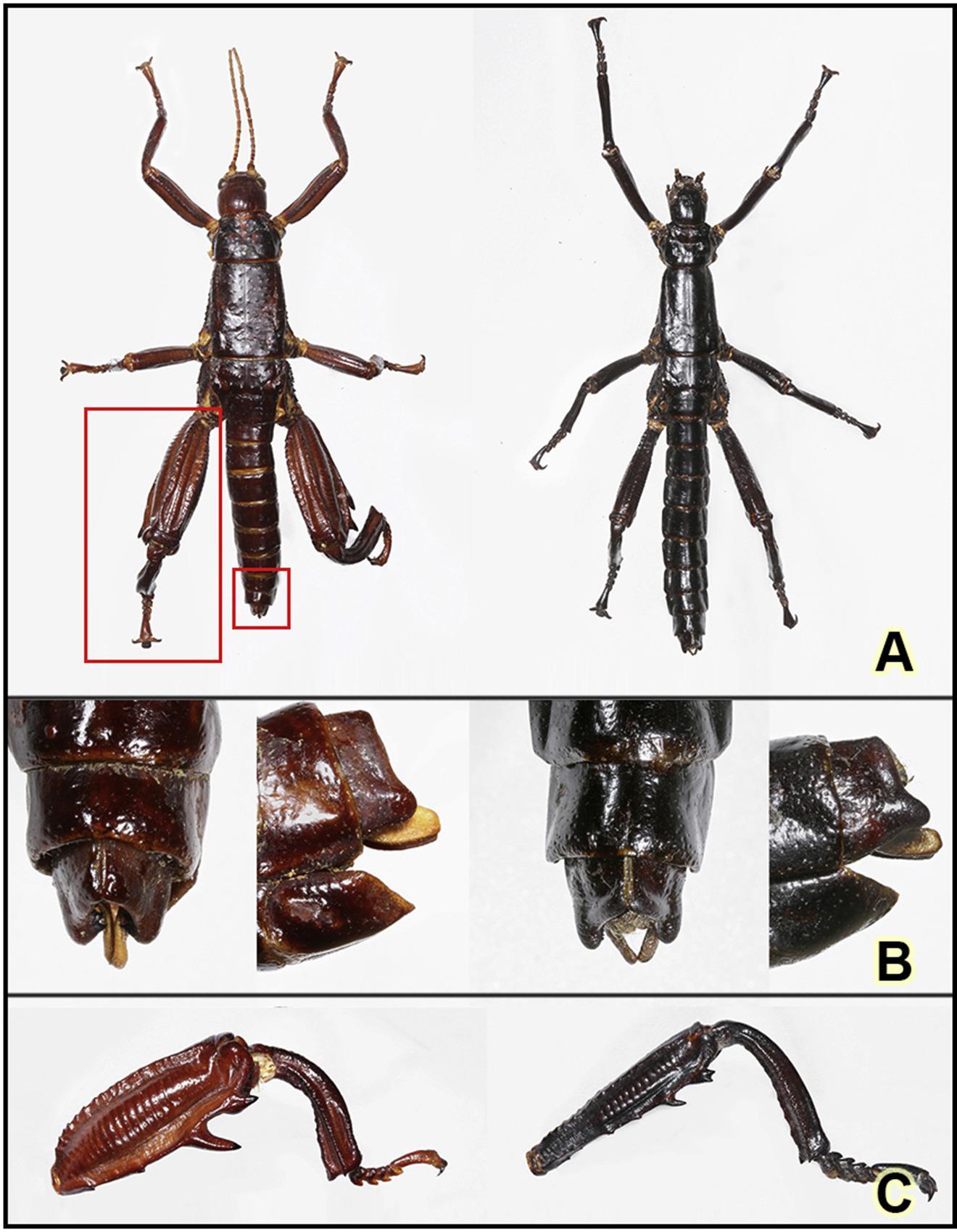 Палочник, который выжил: обнаружены редчайшие насекомые, считавшиеся вымершими