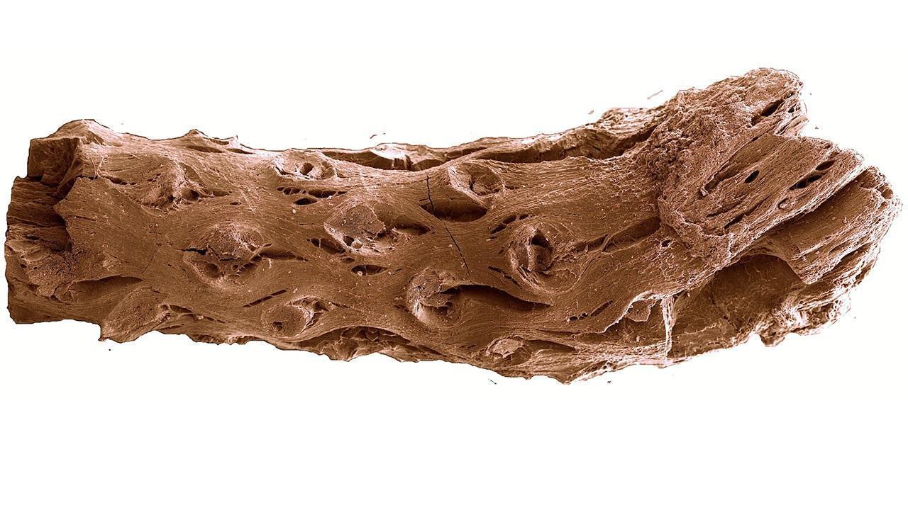 Канадцы нашли древнейшую сосну