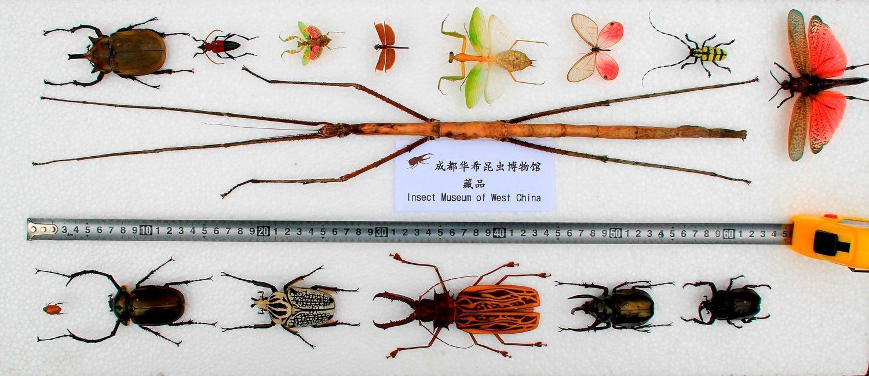 Самое длинное насекомое в мире обнаружено в Китае
