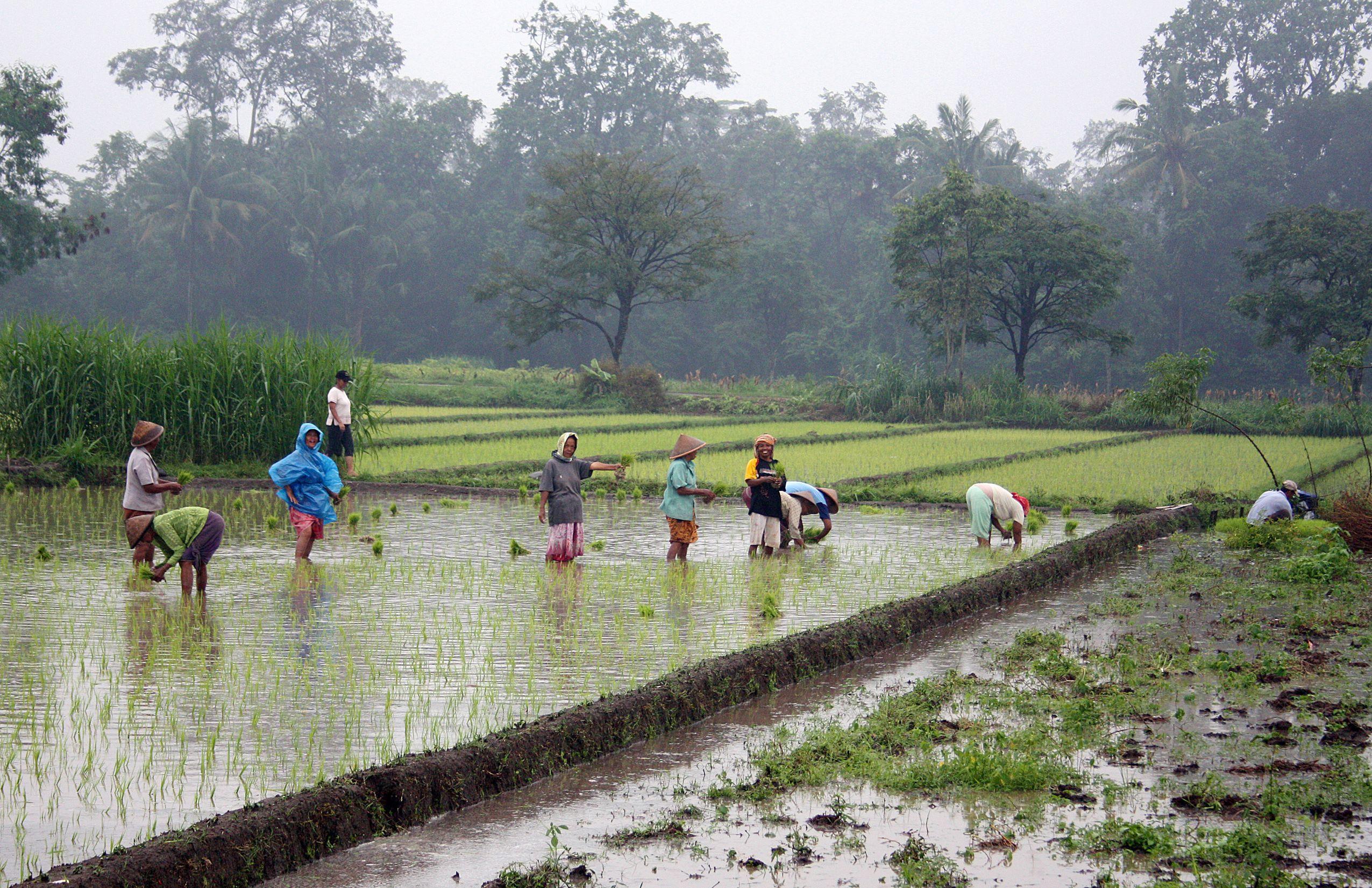 Качество риса повысили за счет генетических модификаций