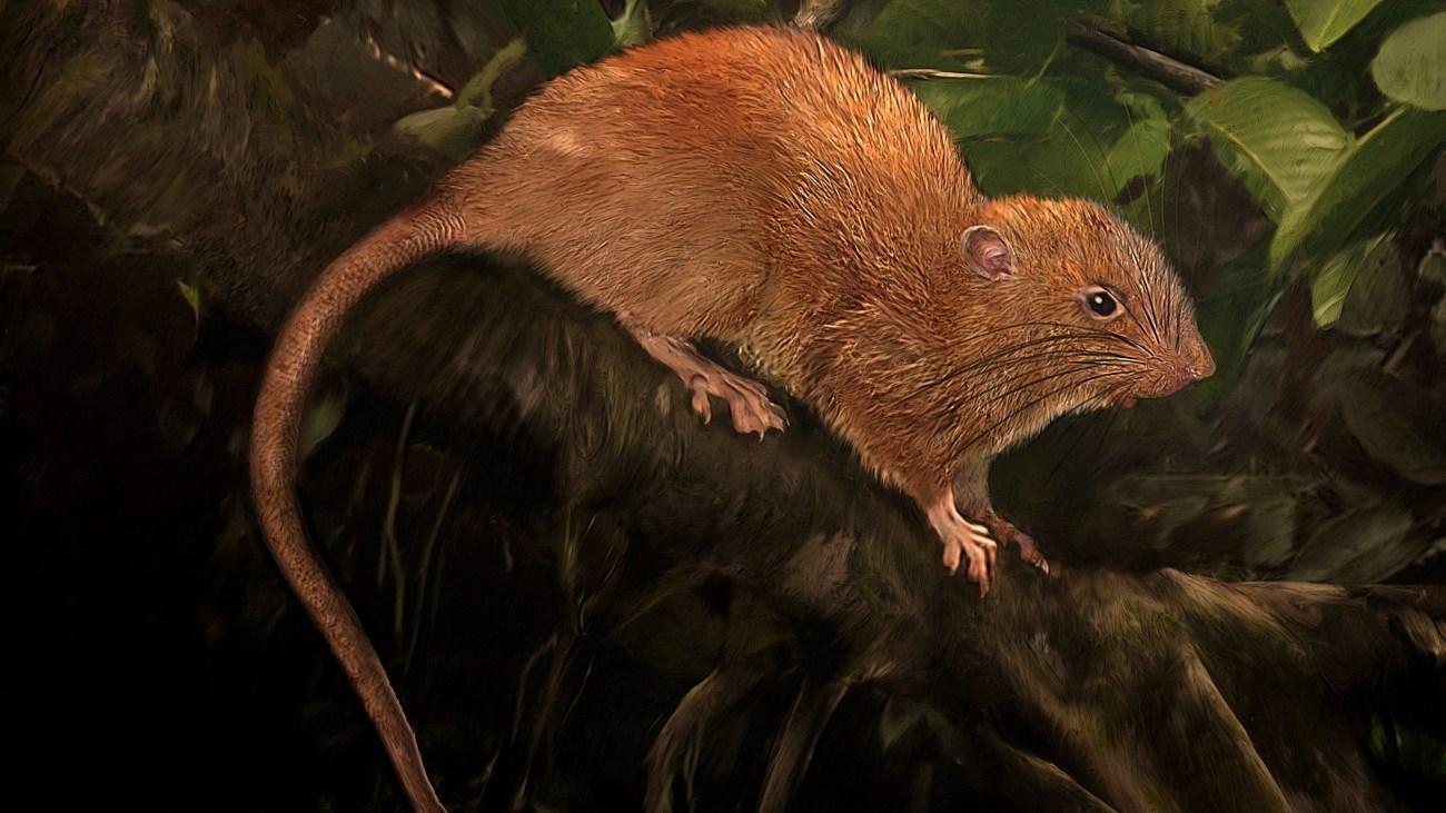 мифы о гигантских крысах Соломоновых островов оказались правдой