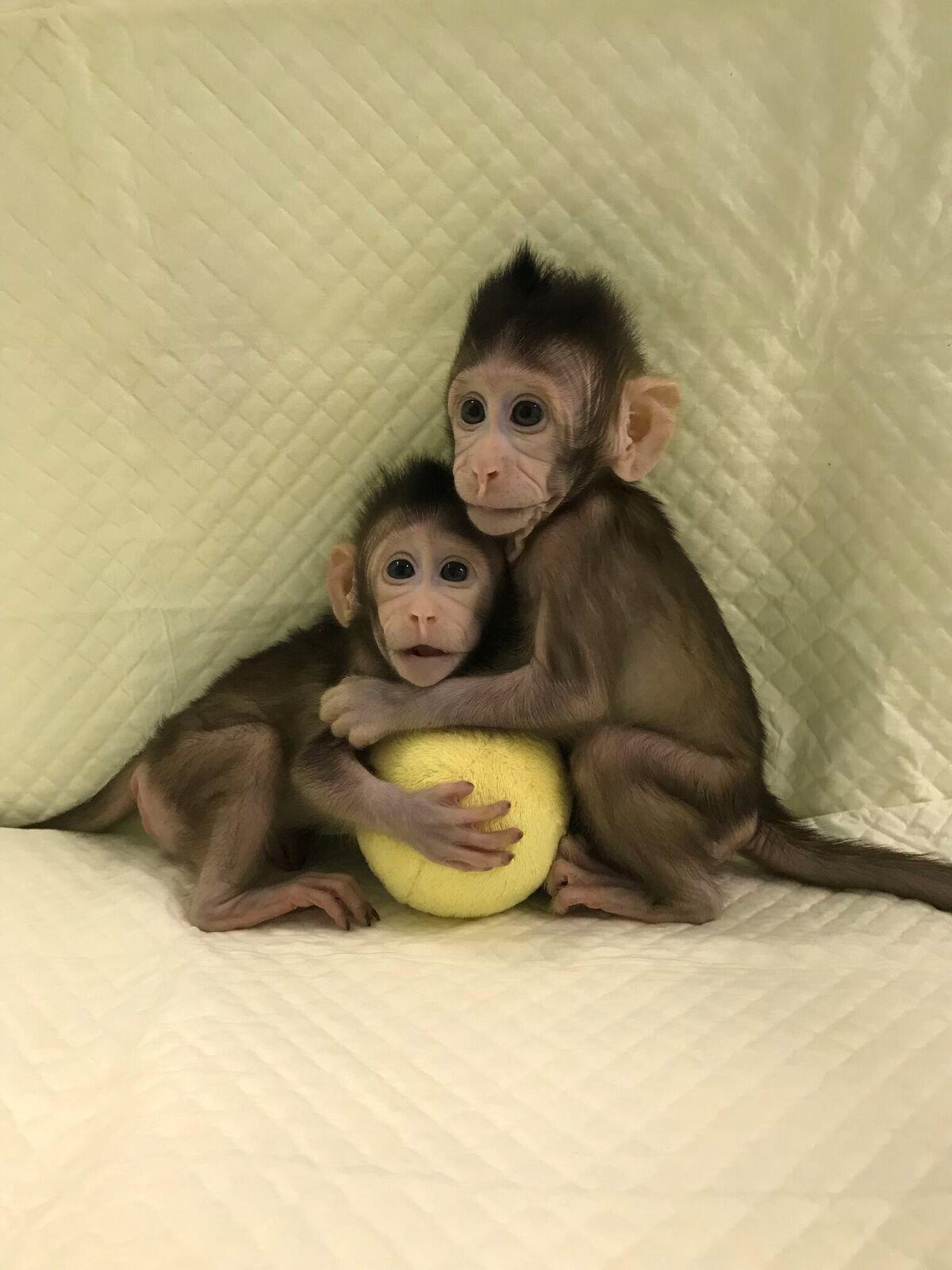 Китайцы впервые клонировали обезьян по методу овечки Долли